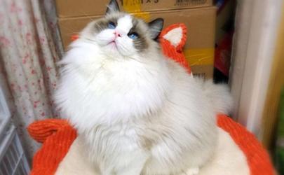 猫咪爆毛吃啥?这样东西家里都有
