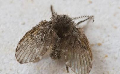 家里很干净为什么有小飞虫