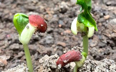 种子发芽为什么细长
