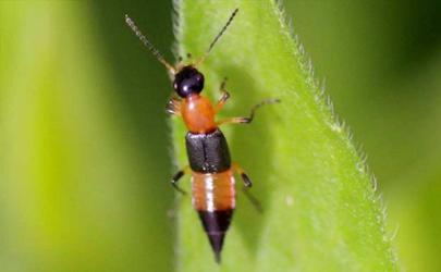 隐翅虫咬的泡可以戳破吗