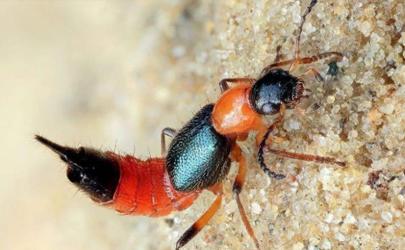 隐翅虫咬了会有生命危险吗