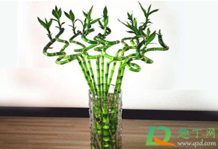 开运竹的养殖方法和注意事项图片