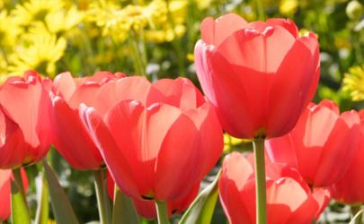 郁金花放在家里有毒吗