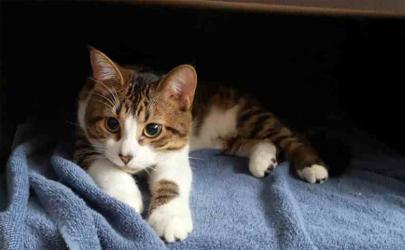 貓鼻支痊愈的貓能繁殖嗎