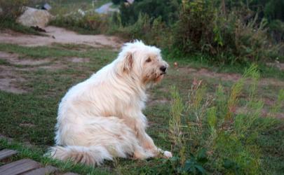 狗狗吃自己的便便有什么危害