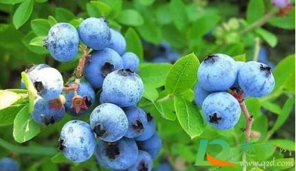 蓝莓皮能不能吃下去2