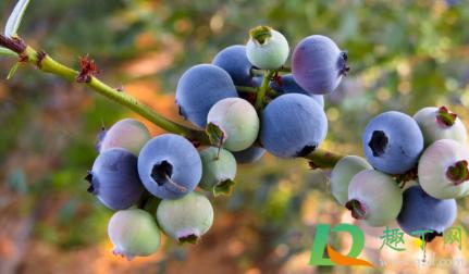 蓝莓皮能不能吃下去3