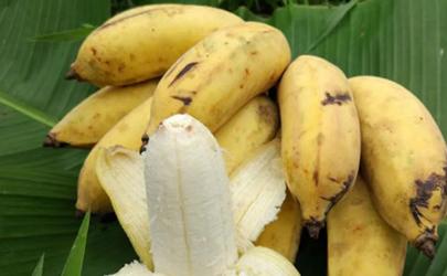 苹果蕉产地哪里