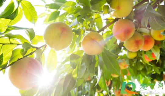 果树增甜用什么肥料好1