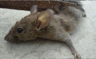 厨房里有死老鼠味是怎么办