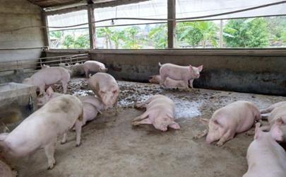 8月豬肉價格為什么這么高