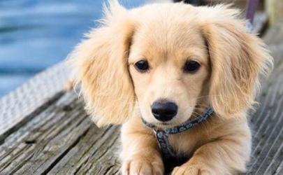 狗耳朵发热是不是发烧