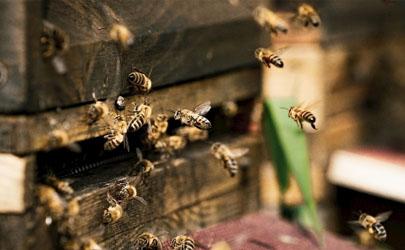 新换蜂箱蜜蜂要关几天
