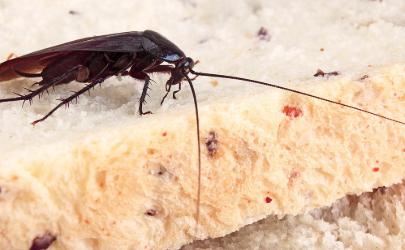厨房柜里有蟑螂怎么消灭