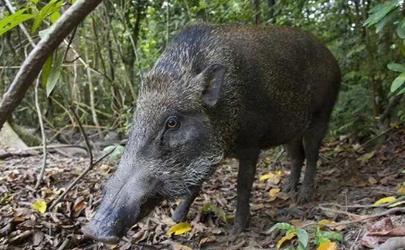 四川巴中野豬泛濫怎么回事