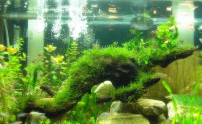 鱼缸水藻泛滥怎么办