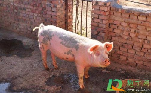 2021还有人养猪吗 2