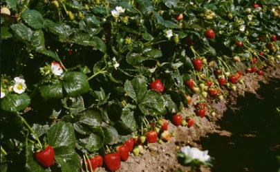 草莓什么時候走莖繁殖