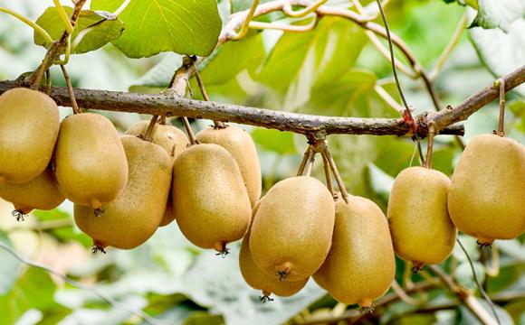 猕猴桃很大个是打了膨大剂吗