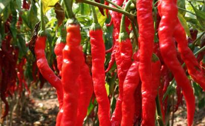 吃完辣椒喝水为什么胃会巨疼