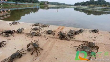 螃蟹上岸是要地震了么2