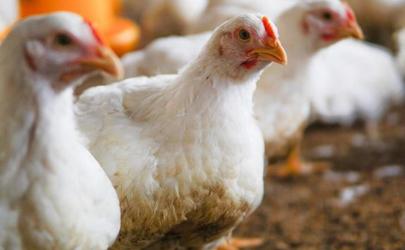 鸡肉价格降了多少11月