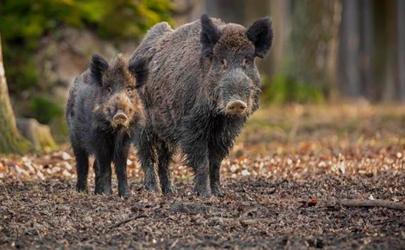遇到野豬怎么自救