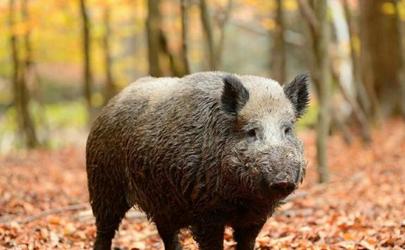 南京野猪进哪个奶茶店