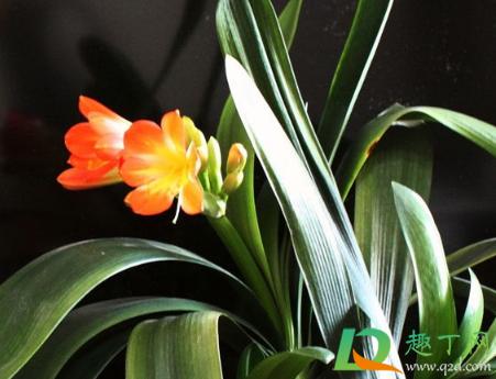 植物補光燈能給君子蘭用嗎2