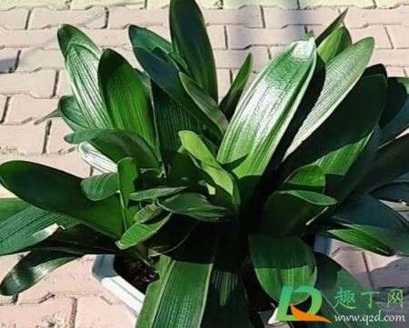 植物補光燈能給君子蘭用嗎1