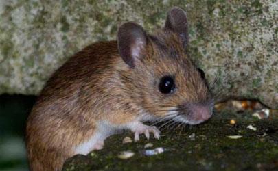 阳台总是有老鼠来有什么办法