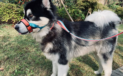狗嘴套可以防止狗狗攻击人吗