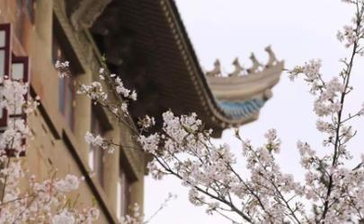 2021武汉樱花开了吗