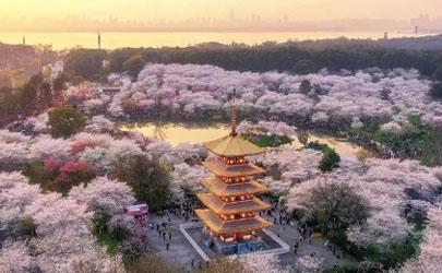 2021清明节去武汉还能看到樱花吗
