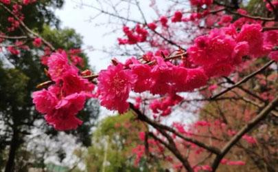 武汉2021年五一还有樱花吗