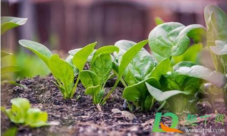 养殖菠菜应该怎么施肥插图1