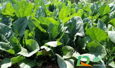 养殖菠菜应该怎么施肥插图2