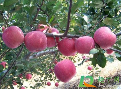 倒春寒后苹果应该如何养植插图2