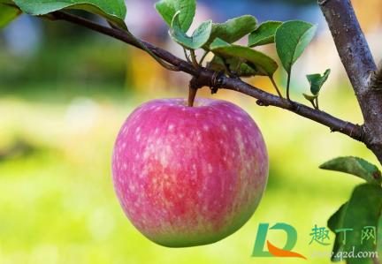 倒春寒后苹果应该如何养植插图1