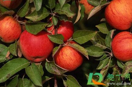 倒春寒后苹果应该如何养植插图