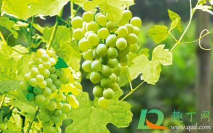 春天移栽葡萄需要多久才能发芽插图2