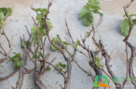 春天移栽葡萄需要多久才能发芽插图1