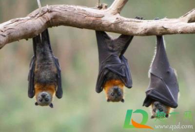 怎么驱赶蝙蝠在家里插图