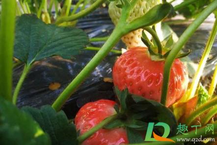 草莓不开花是咋回事插图