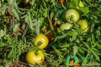 西红柿为什么会发生裂果现象呢插图2