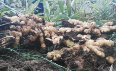 生姜带泥的能放多久