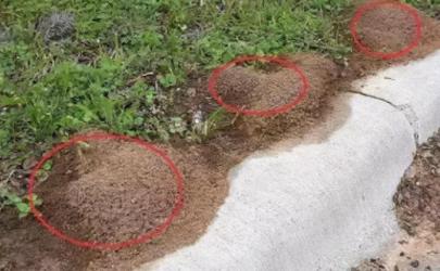 红火蚁咬人有毒吗