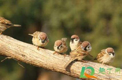 麻雀吃庄稼有啥办法治3
