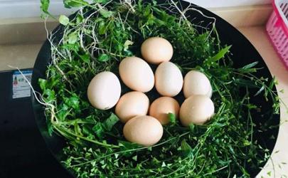 荠菜煮鸡蛋用干荠菜还是鲜的