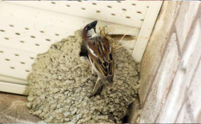 麻雀要在阳台做窝怎么赶